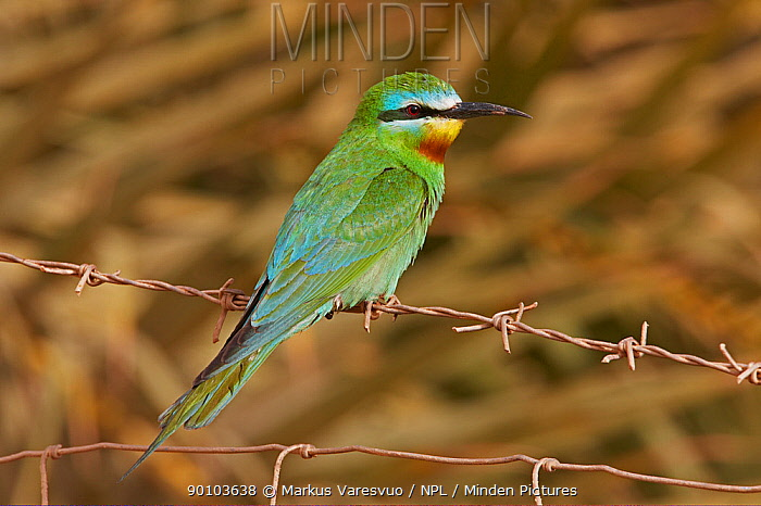 Blue-cheeked bee-eater (Merops persicus) perched on wire, Israel, May  -  Markus Varesvuo/ npl