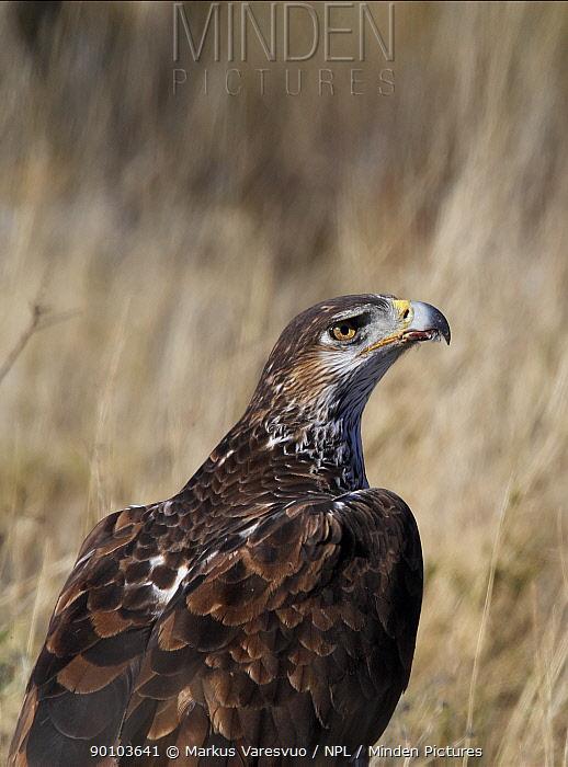 Bonelli's eagle (Hieraetus fasciatus) portrait, Spain, March  -  Markus Varesvuo/ npl