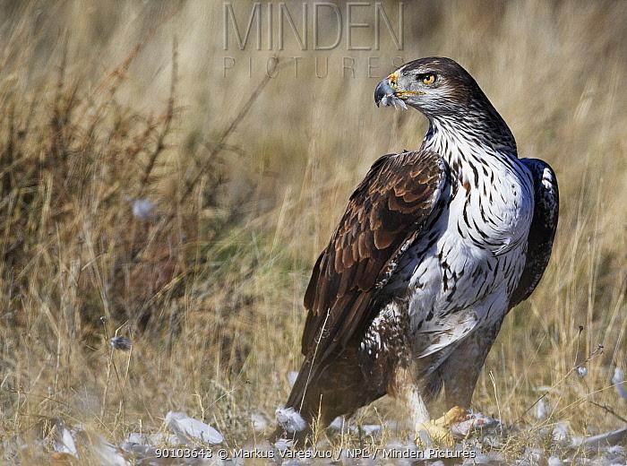 Bonelli's eagle (Hieraetus fasciatus) feeding on prey, Spain, March  -  Markus Varesvuo/ npl