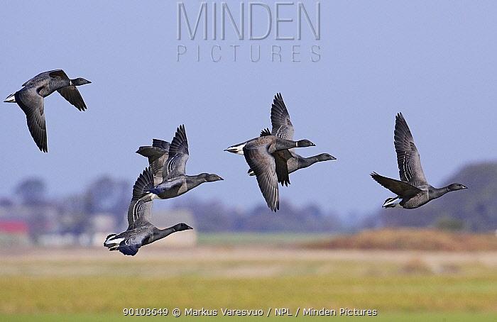 Brent geese (Branta bernicla) in flight, Sweden, October  -  Markus Varesvuo/ npl