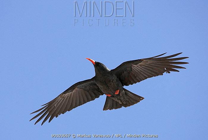 Chough (Pyrrhocorax pyrrhocorax) in flight, Morocco, February  -  Markus Varesvuo/ npl