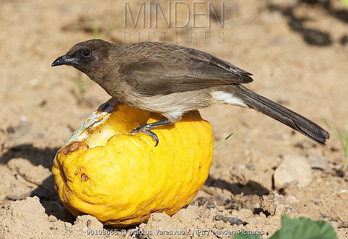 Common bulbul (Pycnonotus barbatus) on lemon, Morocco, February  -  Markus Varesvuo/ npl