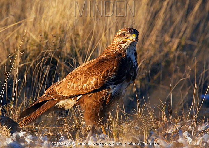 Common buzzard (Buteo buteo) on ground, Spain, March  -  Markus Varesvuo/ npl