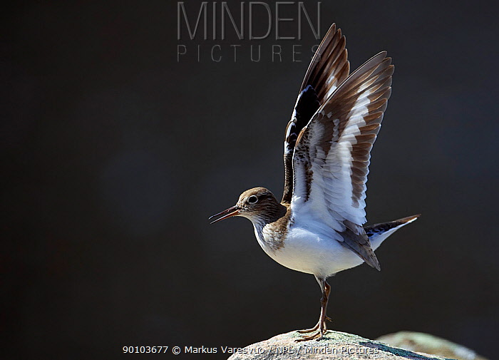 Common sandpiper (Actitis hypoleucos) flapping wings, calling, Ristiina, Finland, May  -  Markus Varesvuo/ npl