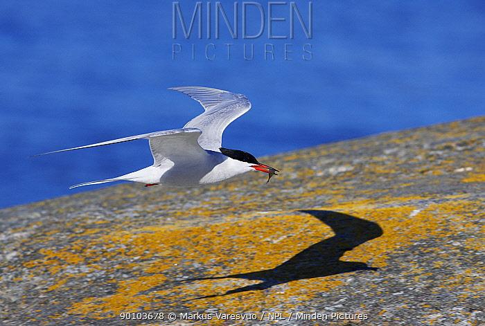 Common tern (Sterna hirundo) in flight with fish in beak, Porvoo S�dersk?r, Finland, May  -  Markus Varesvuo/ npl