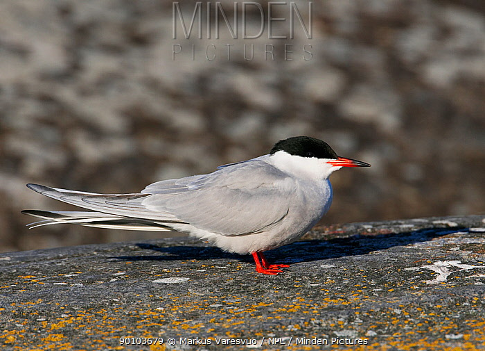 Common tern (Sterna hirundo) on rock, Porvoo S�dersk?r, Finland, May  -  Markus Varesvuo/ npl