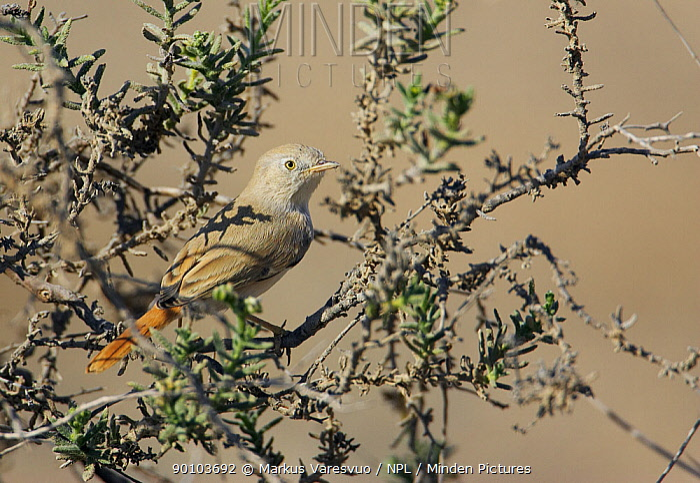 Desert warbler (Sylvia nana) perched, Sultanate of Oman, November  -  Markus Varesvuo/ npl