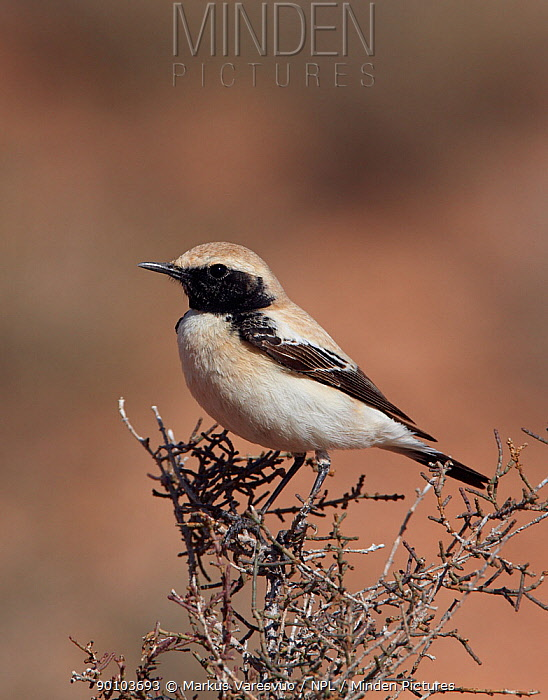 Desert wheatear (Oenanthe deserti) perched, Morocco, February  -  Markus Varesvuo/ npl