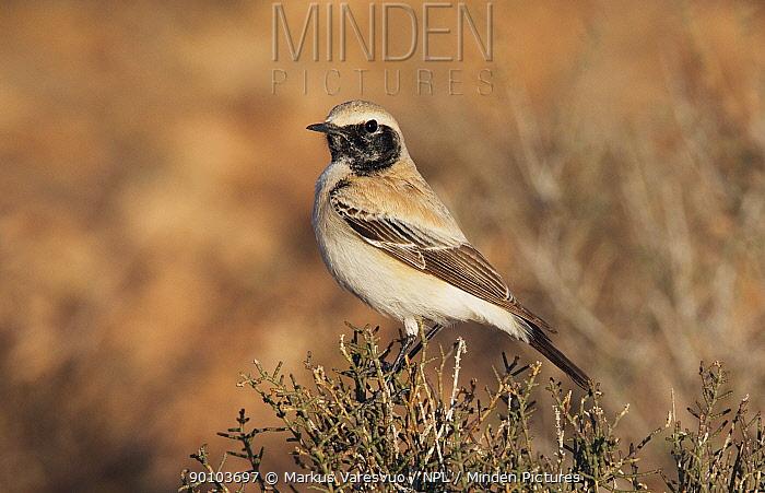 Desert wheatear (Oenanthe deserti) Morocco, February  -  Markus Varesvuo/ npl