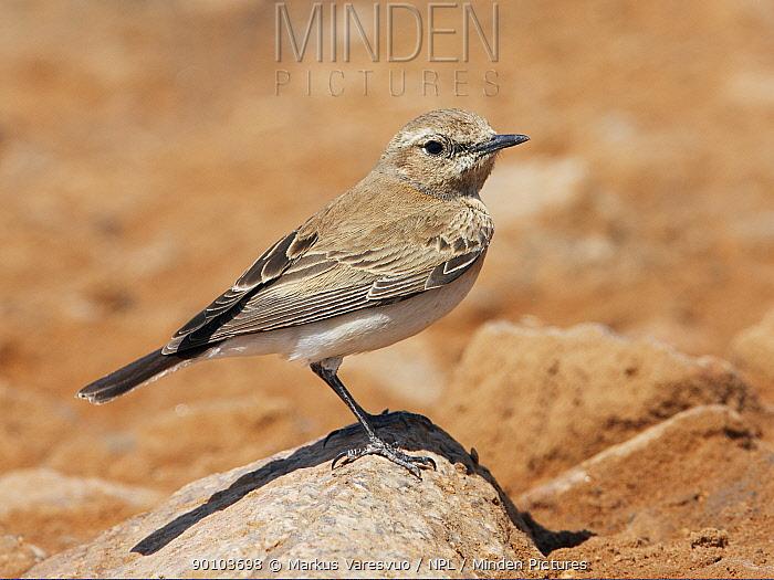 Desert wheatear (Oenanthe deserti) on rock, Israel, March  -  Markus Varesvuo/ npl