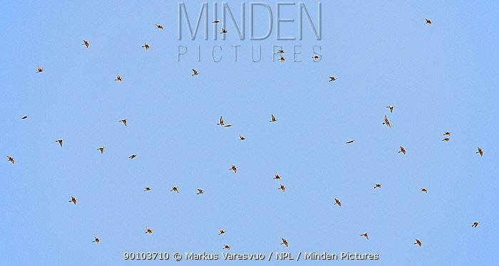 European bee eater (Merops apiaster) flock migrating, Spain, September  -  Markus Varesvuo/ npl