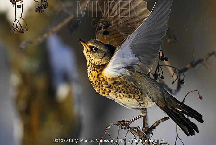 Fieldfare (Turdus pilaris) flapping wings, Helsinki, Finland, January  -  Markus Varesvuo/ npl