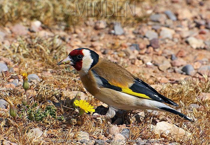 Goldfinch (Carduelis carduelis) on ground, Morocco, February  -  Markus Varesvuo/ npl