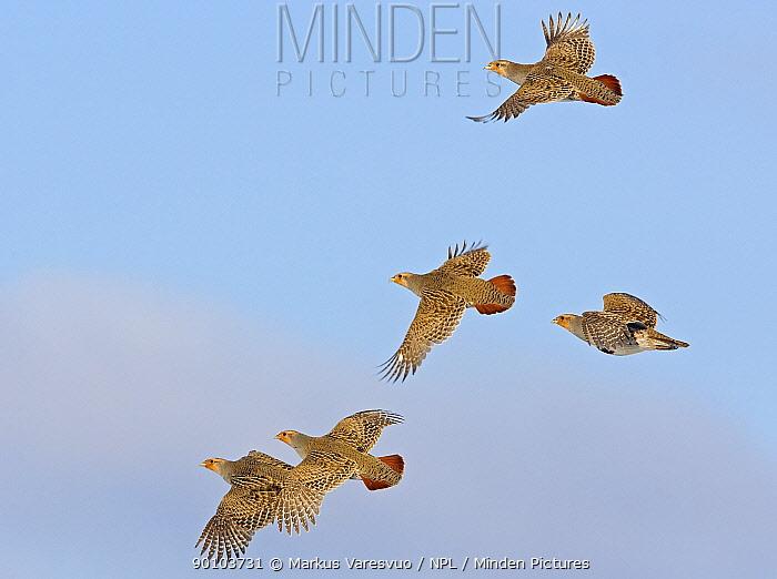 Five Grey partridges (Perdix perdix) in flight, Liminka, Finland, February  -  Markus Varesvuo/ npl