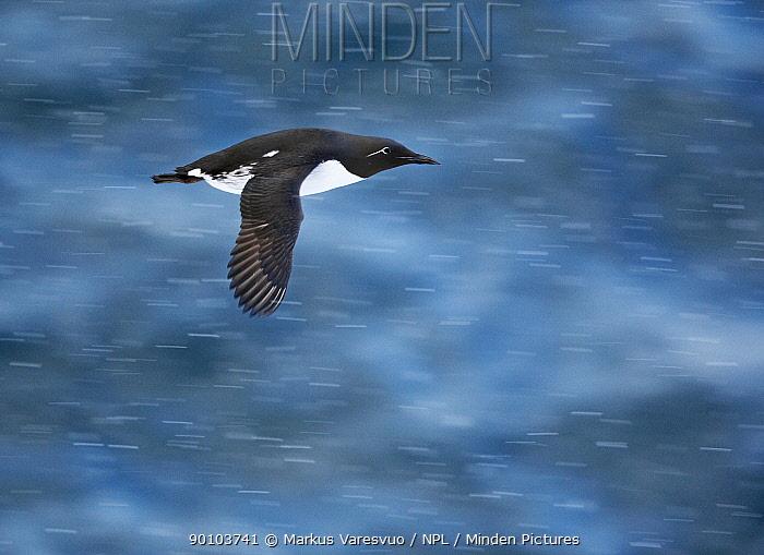 Guillemot (Uria aalge) in flight over water, Norway, July  -  Markus Varesvuo/ npl