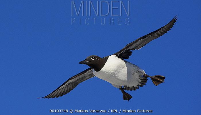 Guillemot (Uria aalge) in flight, Norway, July  -  Markus Varesvuo/ npl