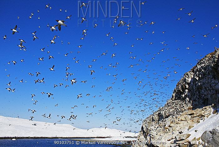 Guillemot (Uria aalge) flock in flight over nesting colony on rocks, Norway, July 2008  -  Markus Varesvuo/ npl