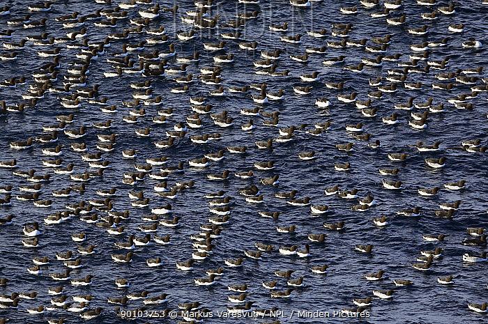 Guillemot (Uria aalge) flock on water, Norway, July  -  Markus Varesvuo/ npl