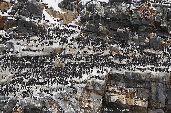 Guillemot (Uria aalge) nesting colony on cliffs, Norway, April 2006  -  Markus Varesvuo/ npl
