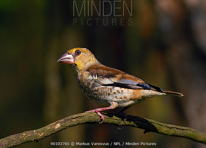 Hawfinch (Coccothraustes coccothraustes) on branch, Hungary, July  -  Markus Varesvuo/ npl