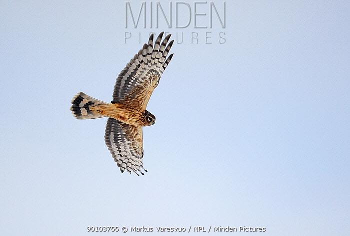 Hen harrier (Circus cyaneus) in flight, Kirkkonummi, Finland, February  -  Markus Varesvuo/ npl
