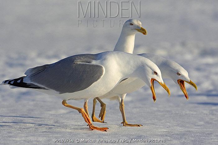 Two Herring Gulls (Larus argentatus) on ice displaying, Lokka, Finland, May  -  Markus Varesvuo/ npl