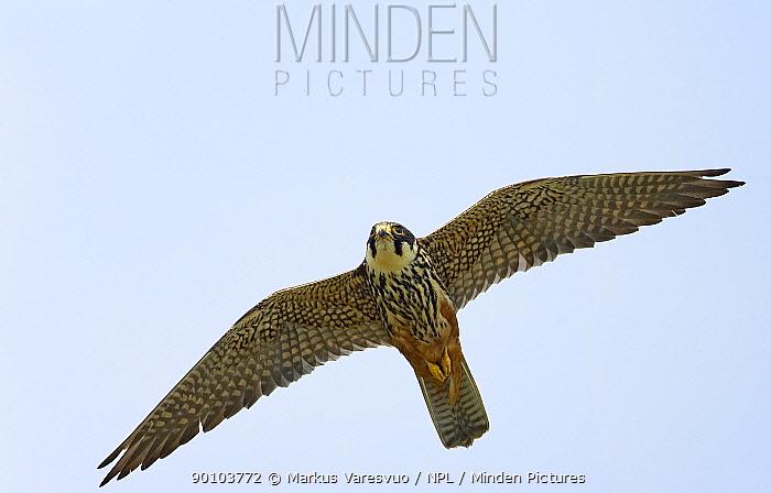 Hobby (Falco subbuteo) in flight, Tammisaari, Finland, July  -  Markus Varesvuo/ npl