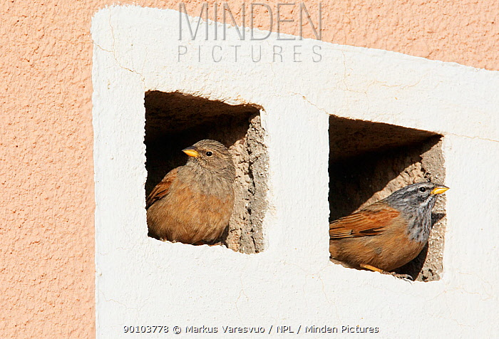 House Bunting (Emberiza striolata) female and male perched on ventilation ledges in building, Morocco, February  -  Markus Varesvuo/ npl