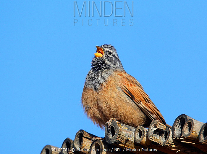 House Bunting (Emberiza striolata) male perched on roof, singing, Morocco, February  -  Markus Varesvuo/ npl