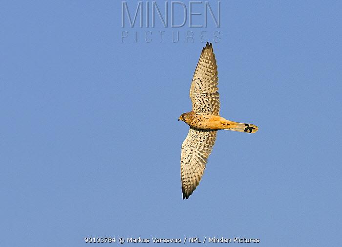 Kestrel (Falco tinnunculus) in flight, Hanko, Finland, September  -  Markus Varesvuo/ npl