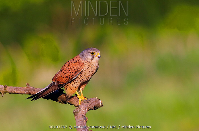 Kestrel (Falco tinnunculus) perched, Hungary, May  -  Markus Varesvuo/ npl