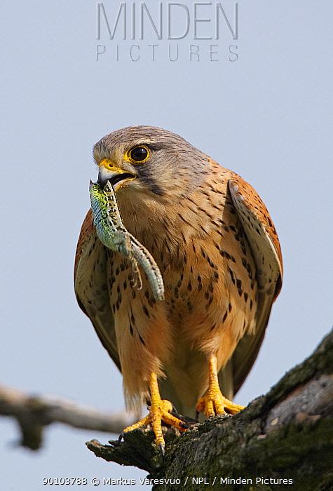 Kestrel (Falco tinnunculus) perched, feeding on lizard, Hungary, May  -  Markus Varesvuo/ npl