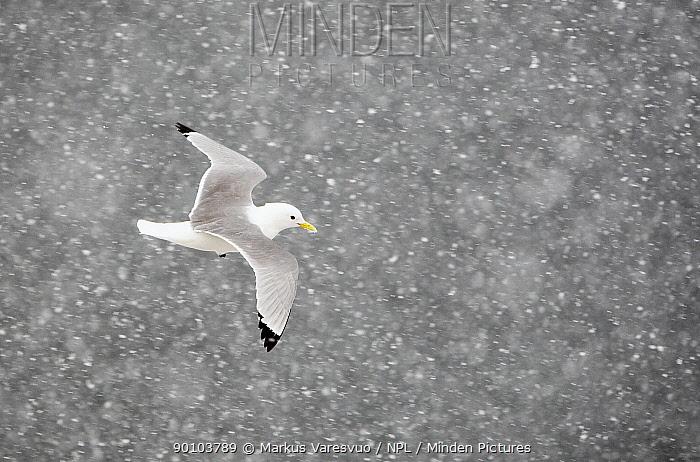 Kittiwake (Rissa tridactylus) flying through snow, Norway, April  -  Markus Varesvuo/ npl
