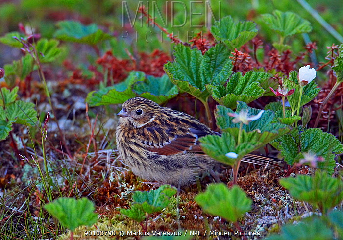 Lapland bunting (Calcarius lapponicus) perched on ground on tundra, Norway, July  -  Markus Varesvuo/ npl