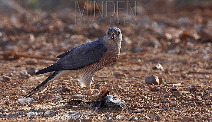 Levant Sparrow Hawk (Accipiter brevipes) feeding on prey, Israel, May Background modified  -  Markus Varesvuo/ npl
