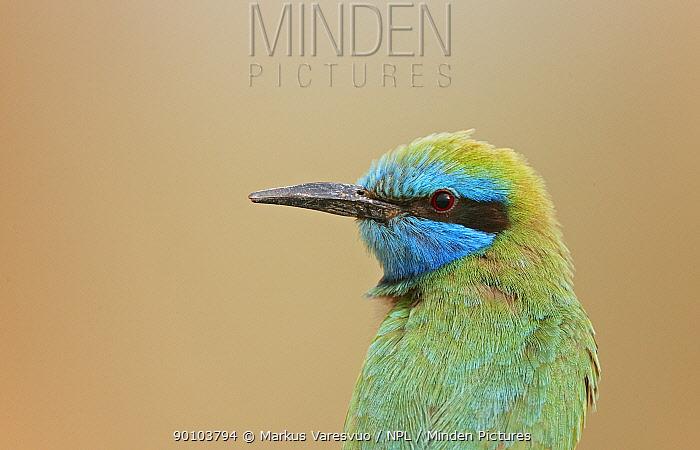 Little Green Bee-eater (Merops orientalis) portrait, Israel, May  -  Markus Varesvuo/ npl