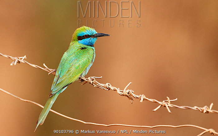 Little Green Bee-eater (Merops orientalis) perched on wire, Israel, May  -  Markus Varesvuo/ npl