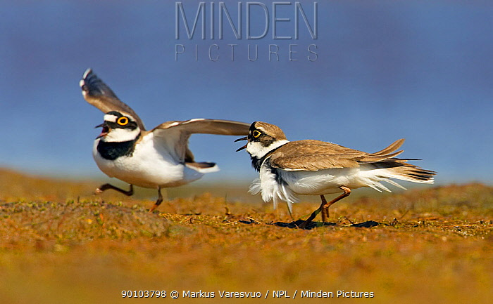 Little Ringed Plover (Charadrius dupius) one adult chasing off another, Loviisa, Finland, May  -  Markus Varesvuo/ npl