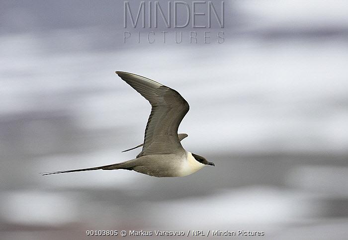 Long-tailed Skua (Stercorarius longicaudus) in flight, June, Norway  -  Markus Varesvuo/ npl