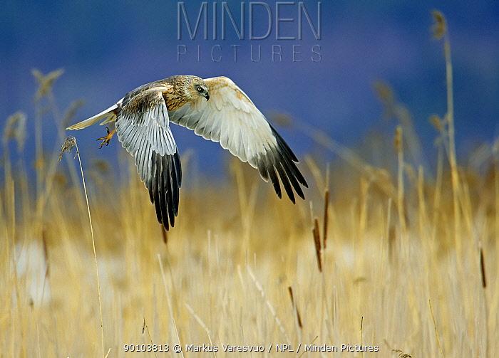 Marsh Harrier (Circus aeroginosus) male hunting, Porvoo Finland  -  Markus Varesvuo/ npl