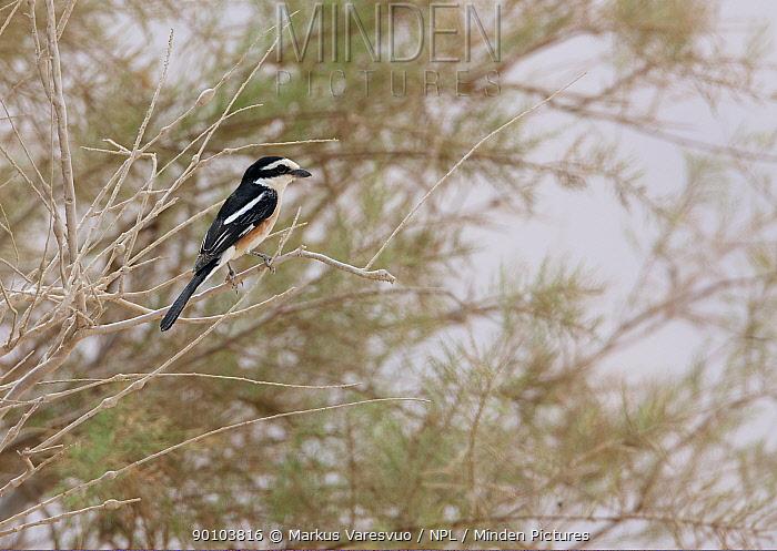 Masked Shrike (Lanius nubicus) March, Israel,  -  Markus Varesvuo/ npl