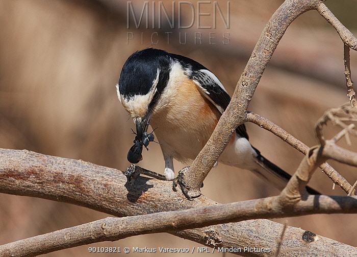 Masked Shrike (Lanius nubicus) foraging for insects, Israel  -  Markus Varesvuo/ npl