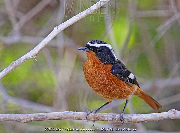 Moussier's Redstart (Phoenicurus moussieri) male, Morocco  -  Markus Varesvuo/ npl