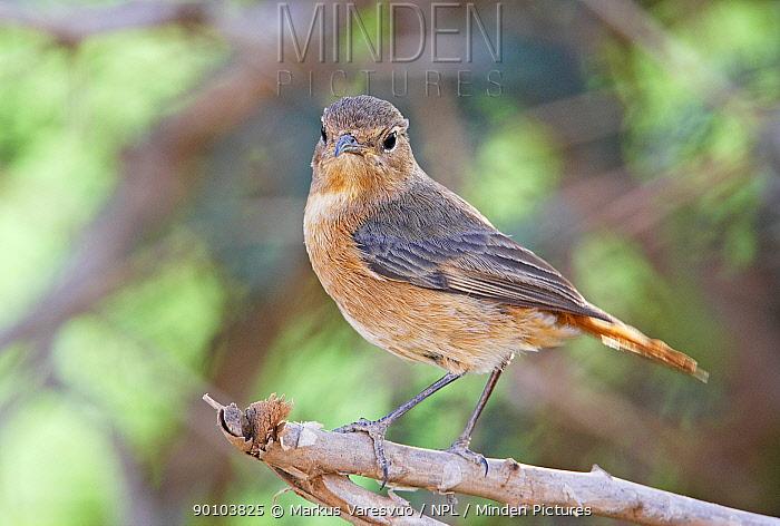 Moussier's Redstart (Phoenicurus moussieri) female, Morocco  -  Markus Varesvuo/ npl
