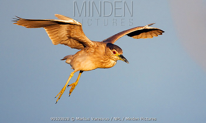 Night Heron (Nycticorax nycticorax) first summer adult, in flight, Hungary May 2007  -  Markus Varesvuo/ npl