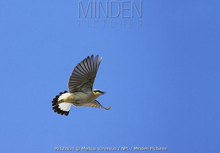 Northern Wheatear (Oenanthe oenanthe) male vocalising in flight Porvoo S�dersk?r, Finland  -  Markus Varesvuo/ npl