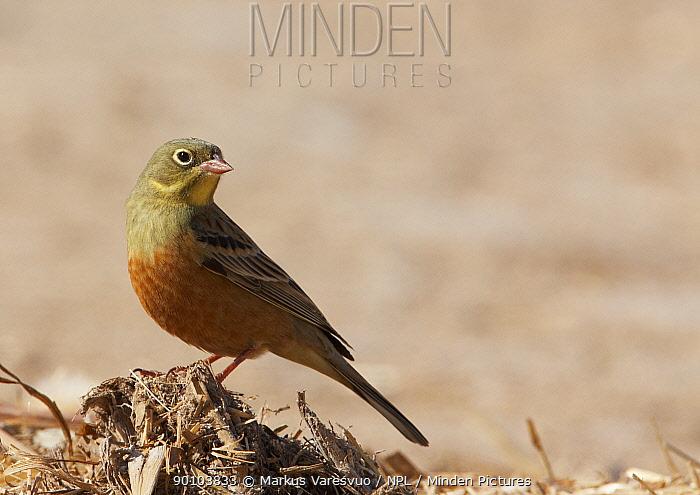 Ortolan Bunting (Emberiza hortulana) Spring plumage, Israel,  -  Markus Varesvuo/ npl