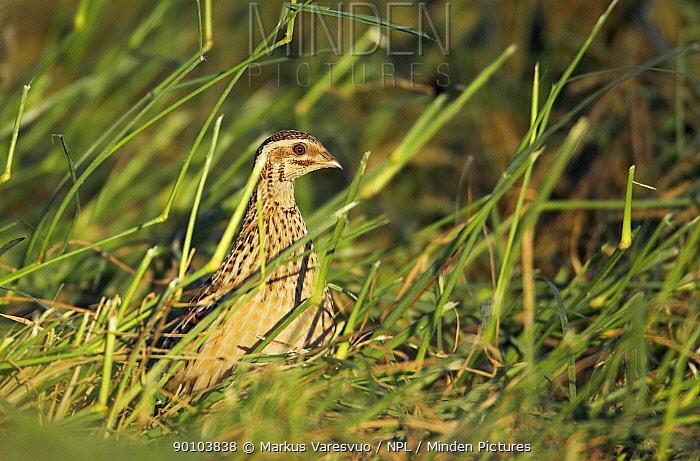 Quail (Coturnix coturnix) in grasses, November, Sultanate of Oman,  -  Markus Varesvuo/ npl