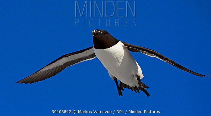 Razorbill (Alca torda) in flight, Spring, Norway  -  Markus Varesvuo/ npl