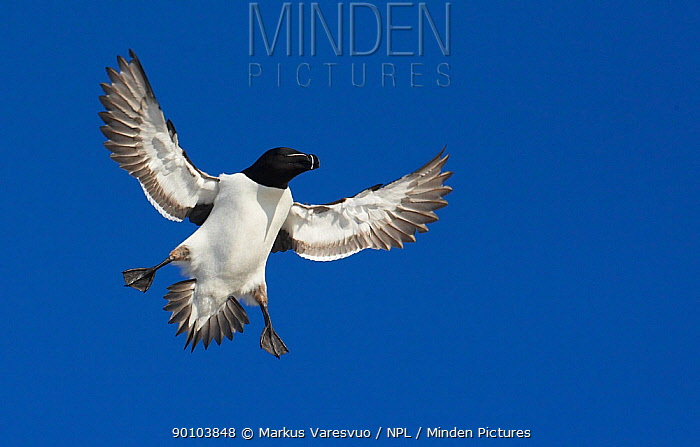 Razorbill (Alca torda) landing, Spring, Norway  -  Markus Varesvuo/ npl